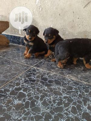 Baby Female Purebred Rottweiler | Dogs & Puppies for sale in Oyo State, Ibadan