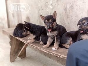 1-3 Month Male Purebred German Shepherd | Dogs & Puppies for sale in Lagos State, Ibeju