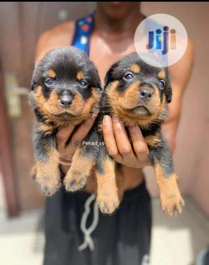 Baby Male Purebred Rottweiler | Dogs & Puppies for sale in Lagos State, Ikeja