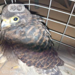 Baby Eagle | Birds for sale in Lagos State, Ikorodu