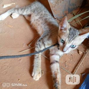 Young Male Purebred Savannah | Cats & Kittens for sale in Lagos State