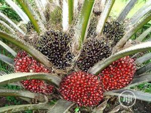 Nursery Palm And Palm Seedling | Feeds, Supplements & Seeds for sale in Edo State, Okada