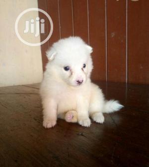 Baby Female Purebred American Eskimo | Dogs & Puppies for sale in Ogun State, Ijebu Ode