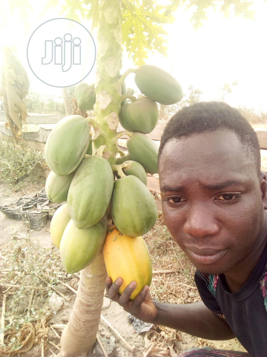 Archive: Dwarf Pawpaw Seedlings For Sale At Affordable Prices