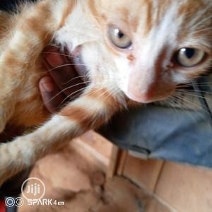 Baby Female Purebred American Curl | Cats & Kittens for sale in Lagos State, Ikorodu