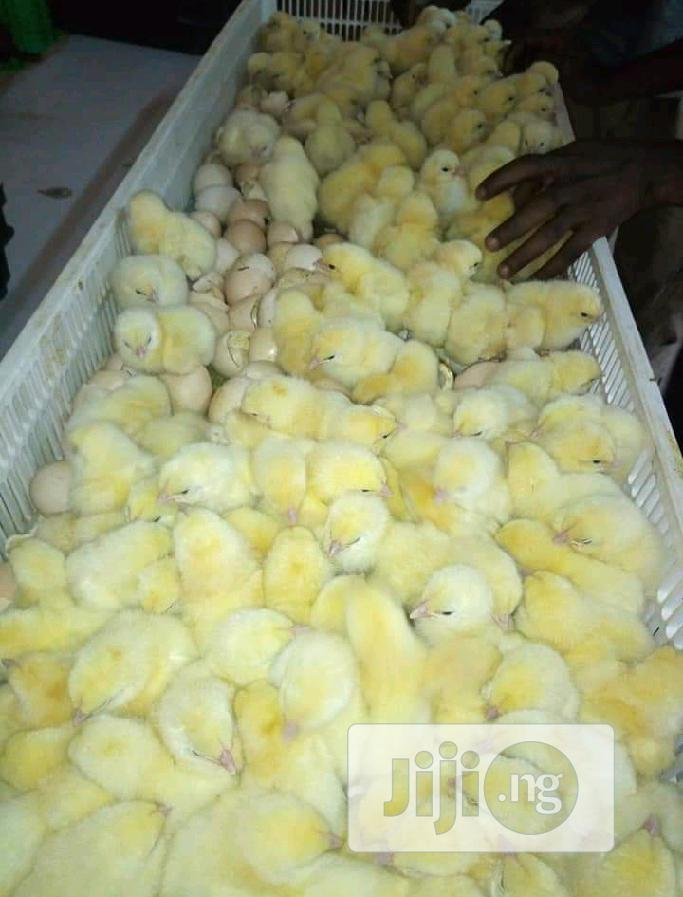 Day Old Chicks for Sale   Livestock & Poultry for sale in Ibadan, Oyo State, Nigeria