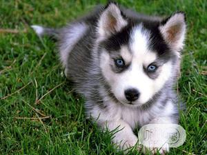 1-3 Month Female Purebred Siberian Husky | Dogs & Puppies for sale in Lagos State, Ipaja