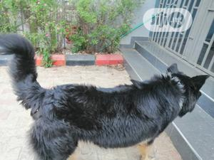 1+ Year Male Purebred Caucasian Shepherd | Dogs & Puppies for sale in Oyo State, Ibadan