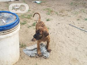 Senior Male Purebred Boerboel   Dogs & Puppies for sale in Lagos State, Mushin