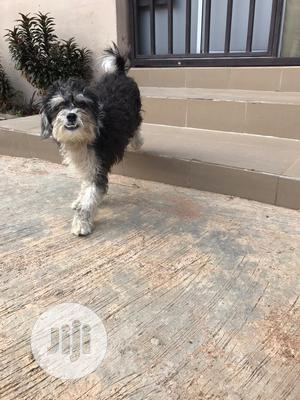 Adult Male Purebred Lhasa Apso | Dogs & Puppies for sale in Lagos State, Agege