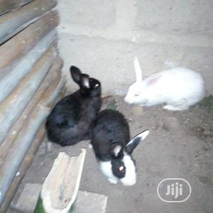 High Quality Rabbits   Livestock & Poultry for sale in Abia State, Umuahia