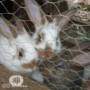 Checkered Rabbits   Livestock & Poultry for sale in Lagos State, Lagos Island (Eko)