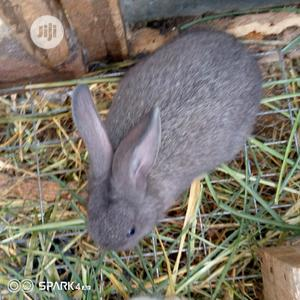 Well Vaccinated Pure Bred Satin Rabbits   Livestock & Poultry for sale in Lagos State, Lagos Island (Eko)