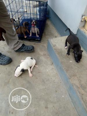1-3 Month Female Purebred American Pit Bull Terrier | Dogs & Puppies for sale in Lagos State, Victoria Island