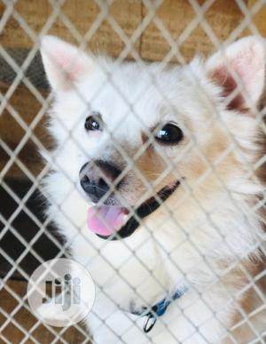 Baby Female Purebred American Eskimo | Dogs & Puppies for sale in Osun State, Osogbo