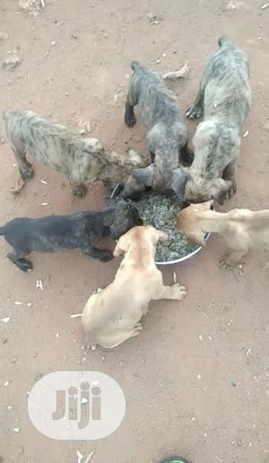 1-3 Month Female Purebred Boerboel   Dogs & Puppies for sale in Edo State, Benin City