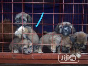 1-3 Month Female Purebred Lhasa Apso   Dogs & Puppies for sale in Kwara State, Ilorin South