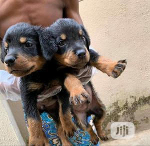 Baby Male Purebred Rottweiler | Dogs & Puppies for sale in Ekiti State, Ado Ekiti