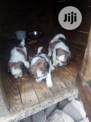 1-3 Month Male Purebred Lhasa Apso   Dogs & Puppies for sale in Lagos State, Lekki