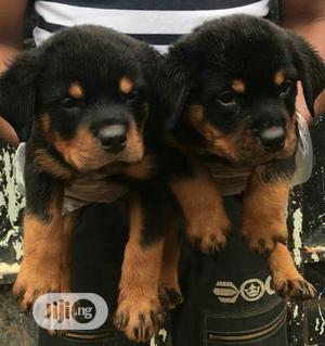 Baby Male Purebred Rottweiler   Dogs & Puppies for sale in Oyo State, Ibadan
