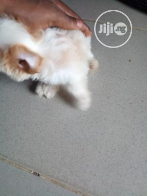 Baby Female Purebred Lhasa Apso | Dogs & Puppies for sale in Lagos State, Alimosho