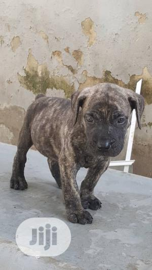 Baby Male Purebred Boerboel   Dogs & Puppies for sale in Oyo State, Ibadan