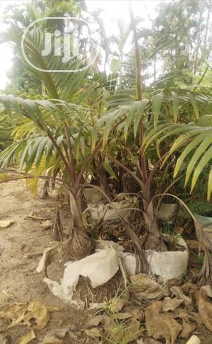 Bottle Palm | Garden for sale in Lagos State, Ojo