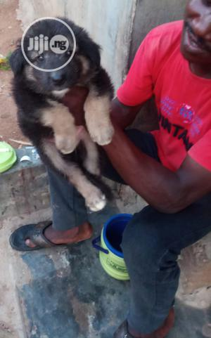 Baby Male Purebred German Shepherd   Dogs & Puppies for sale in Oyo State, Ibadan