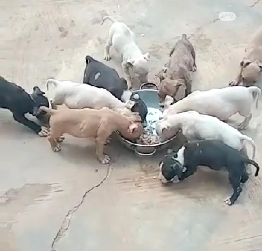 Baby Female Purebred American Pit Bull Terrier   Dogs & Puppies for sale in Ibadan, Oyo State, Nigeria