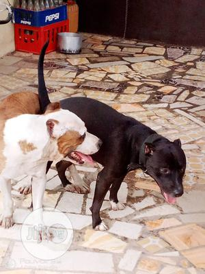 Baby Female Purebred American Pit Bull Terrier   Dogs & Puppies for sale in Oyo State, Ibadan