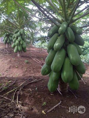 Pawpaw Seed (Dwarf Hybrid) | Feeds, Supplements & Seeds for sale in Abuja (FCT) State, Kubwa