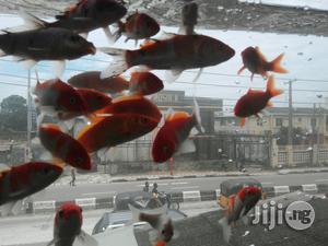 Japanese Koi Fish   Fish for sale in Lagos State, Ikoyi