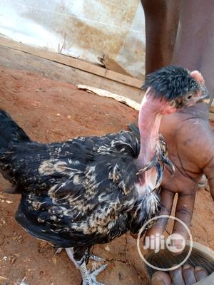 Show And Ornamental Chicken   Livestock & Poultry for sale in Lagos State, Ikorodu
