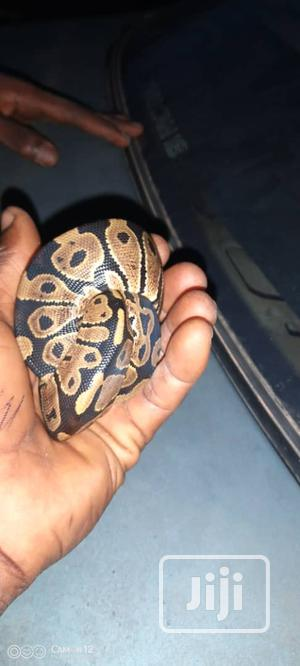Ballpython, Nonvenomous | Reptiles for sale in Lagos State, Ikorodu
