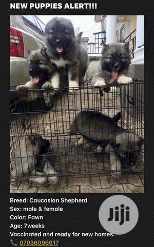 1-3 Month Male Purebred Caucasian Shepherd | Dogs & Puppies for sale in Edo State, Benin City
