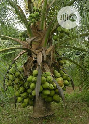 Economic Trees Available for Sale | Feeds, Supplements & Seeds for sale in Ogun State, Obafemi-Owode