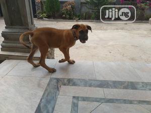 Young Male Purebred Boerboel | Dogs & Puppies for sale in Ekiti State, Ado Ekiti