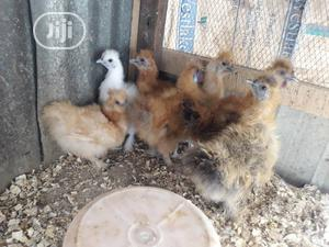 Five Beautiful Silkie Bantam Chickens On Ground   Livestock & Poultry for sale in Kaduna State, Zaria