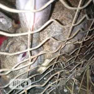 Rabbit Of Different Breeds   Livestock & Poultry for sale in Imo State, Ezinihitte