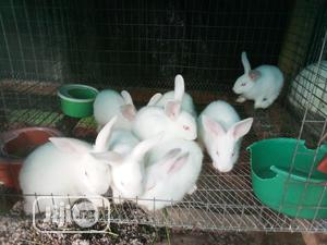 Hyla Grower Rabbits for Sale | Livestock & Poultry for sale in Edo State, Benin City
