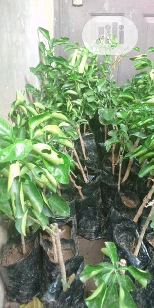 Citrus Seedlings   Feeds, Supplements & Seeds for sale in Oyo State, Ido