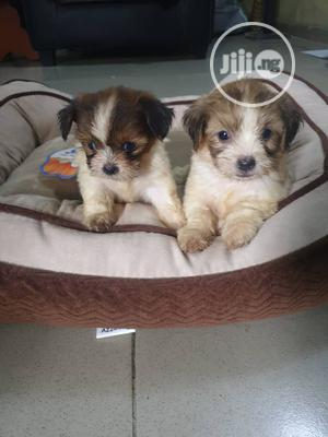 1-3 month Female Purebred Lhasa Apso   Dogs & Puppies for sale in Lagos State, Surulere