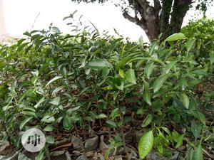 Hybrid (Sweet) Orange Seedlings | Feeds, Supplements & Seeds for sale in Ogun State, Abeokuta South