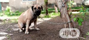 1+ Year Male Purebred Boerboel | Dogs & Puppies for sale in Abuja (FCT) State, Kubwa