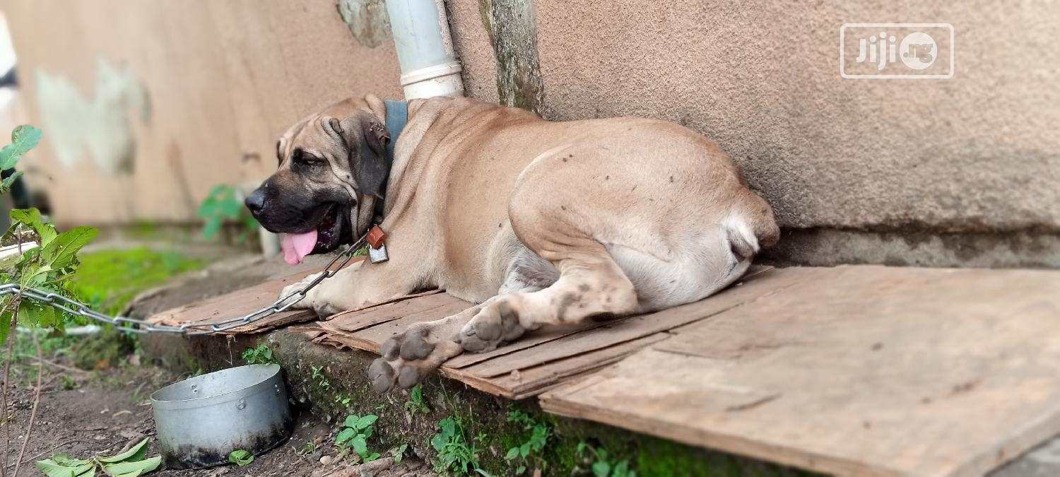 1+ Year Male Purebred Boerboel | Dogs & Puppies for sale in Kubwa, Abuja (FCT) State, Nigeria