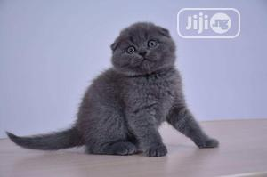 Young Female Purebred Scottish Fold | Cats & Kittens for sale in Lagos State, Lekki