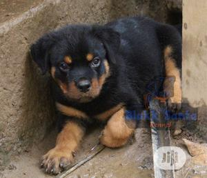 1-3 Month Male Purebred Rottweiler | Dogs & Puppies for sale in Abuja (FCT) State, Karu