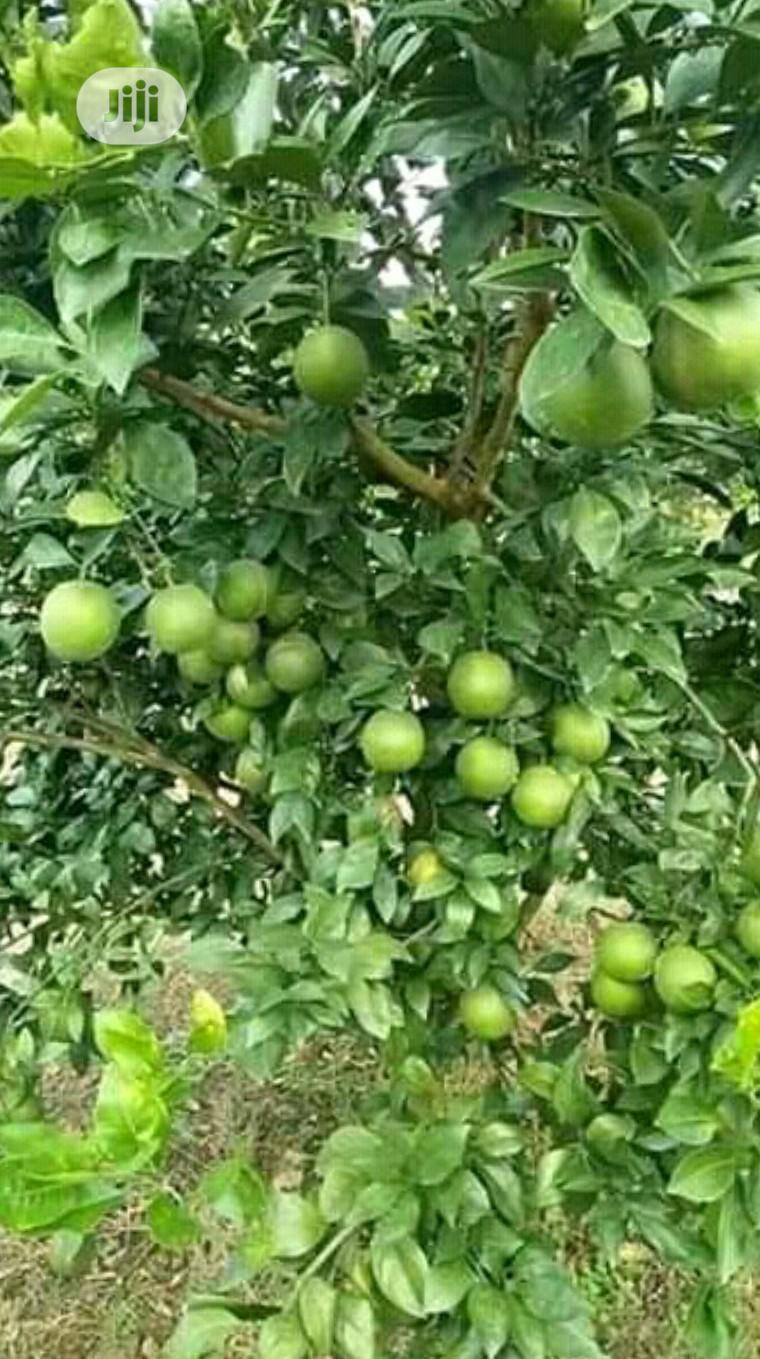 Budded Sweet Orange Seedlings | Feeds, Supplements & Seeds for sale in Ibadan, Oyo State, Nigeria