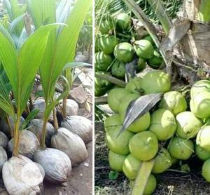 Hybrid Dwarf Coconut Seedlings | Feeds, Supplements & Seeds for sale in Oyo State, Ibadan