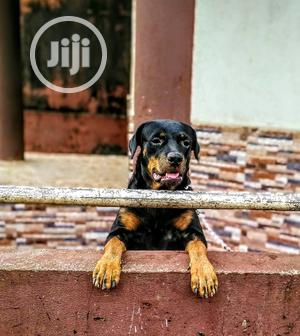 Adult Female Purebred Rottweiler | Dogs & Puppies for sale in Edo State, Benin City